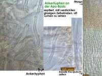 Hyaolopeziza-(Olla-like-Rubus)-170421-ThoRoed-MCol-06JJ