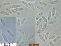 Hyaloscypha-spiralis-170421-ThoRoed-MCol-01