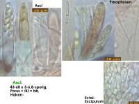 Hyaloscypha-spiralis-170421-ThoRoed-MCol-02JJ