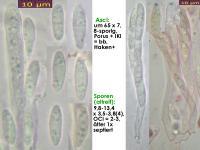 Calycellina-alniella-170305-MCol-01JJ