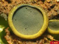 Olivfarbene Grünsporschüssel