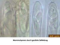 Hymenoscyphus-imberbis-180701-iw025-MCol-03JJ