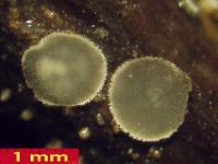 Pyrenopeziza-depressuloides-cf-(Cirsium)-180723-iw029-02xsmJJ