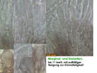 Mollisia-benesuada-180812-iw033-MCol-02JJ