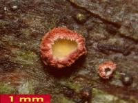 Perrotia-flammea-cf-(Sp20-24)-181010-BHanff-iw039-03xsmJJ