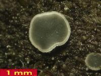 Mollisia-olivaceocinerea-180921-MSch-iw037-02xsmJJ