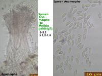 Mollisia-olivaceocinerea-180921-MSch-iw037-MCol-03JJ