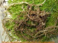Bryoscyphus-phascoides-(croziers-)-181028-iw040-04xssrJJ