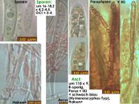 Phaeohelotium-monticola-180920-WF-iw036-MCol-01JJ