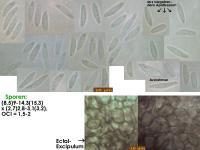 Mollisia-pseudofusca-181206-iw051-MCol-01JJ