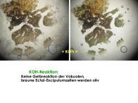 Mollisia-pseudofusca-181206-iw051-MCol-04JJ