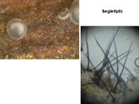 Mollisia-pseudofusca-181206-iw051-MCol-05JJ