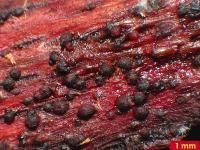 Holzrötendes Kugelkissen