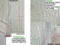Lachnum-brevipilosum-170205-FPr-fp340-MCol-04JJ