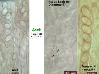 Pseudombrophila-petrakii-140204-WS-MCol-02JJ