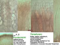 Pseudombrophila-petrakii-140204-WS-MCol-03JJ