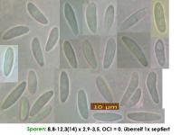 Mollisia-lividofusca-(Subhym-)-CoBe-190313-MCol-01JJ