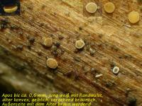Pyrenopeziza-spec-(callycellinoid-Salix)-190211-04xssrcolJJ