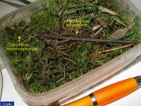 Allophylaria-subhyalina-191011-WStark-02xssrmJJ