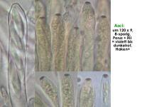 Allophylaria-subhyalina-191011-WStark-MCol-02JJ