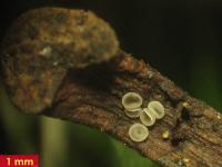 Eichenblatt-Weichbecherchen