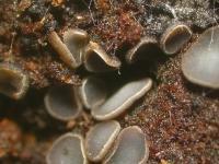 Mollisia-scopiformis-200321-05xs