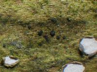 7fach-septiertsporige Durella