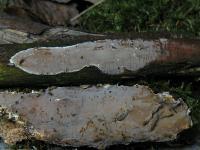 Auffälliger Lederrindenpil